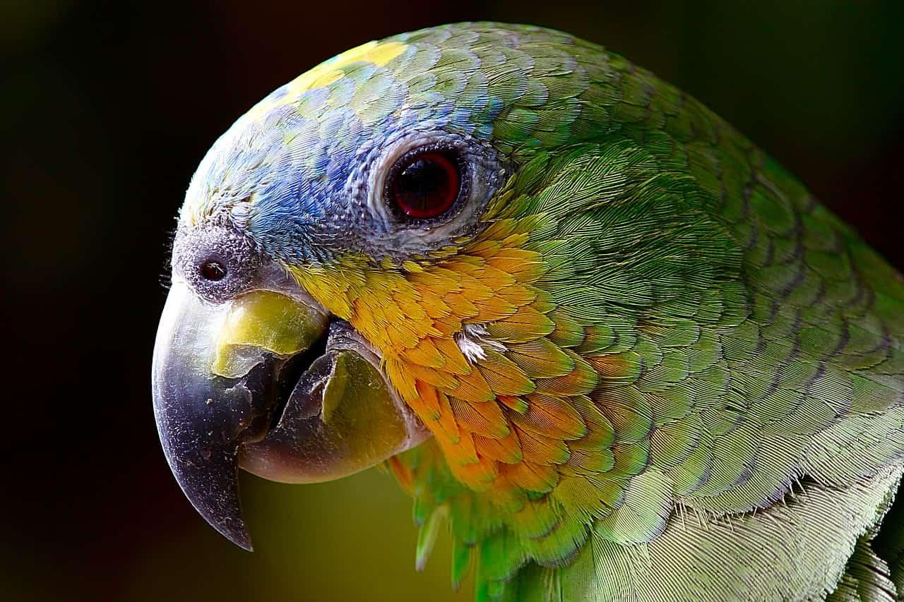 Significado de sonhar com papagaio