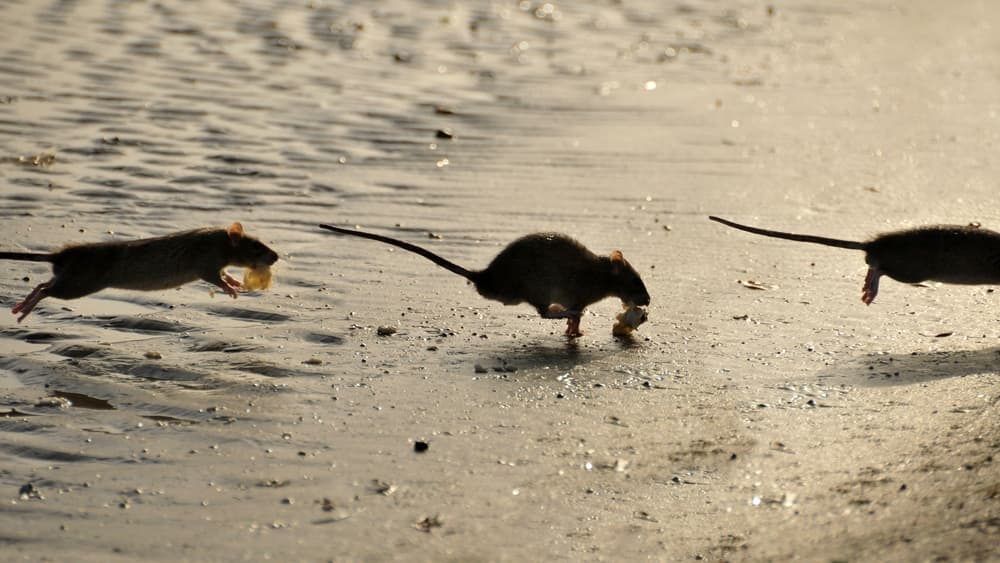 Significado de sonhar com rato correndo