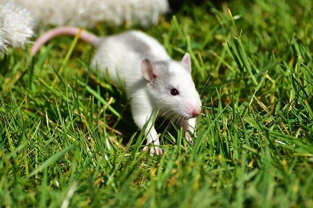 O que significa sonhar com rato branco