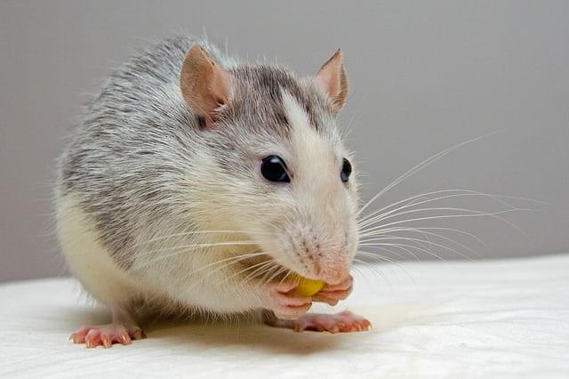 O que significa sonhar com rato mordendo