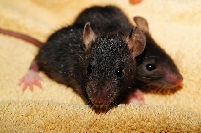 O que significa sonhar com rato preto