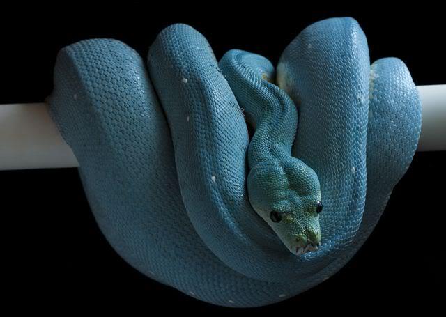 O que significa sonhar com cobra azul