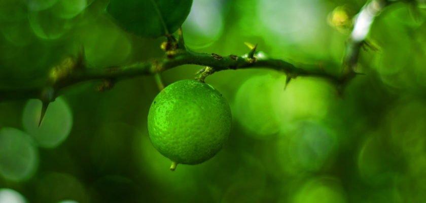 Significado de sonhar com pé de limão