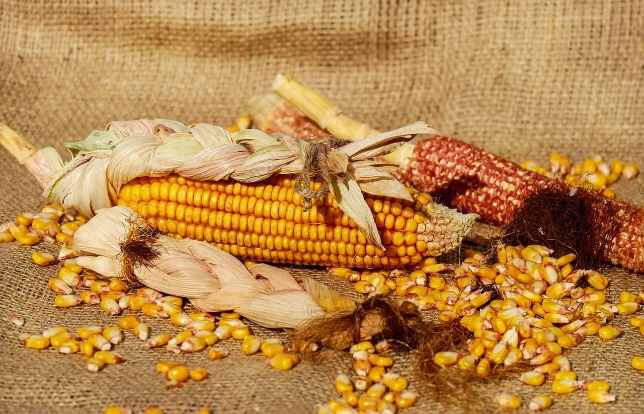O que significa sonhar com milho