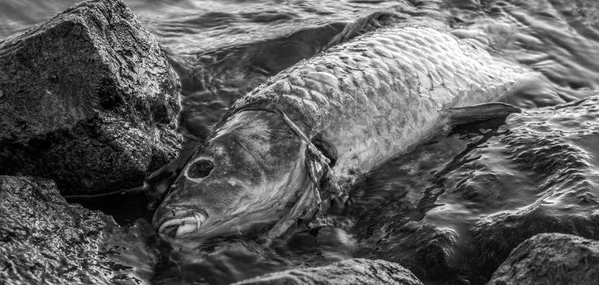 Significado de sonhar com peixe morto